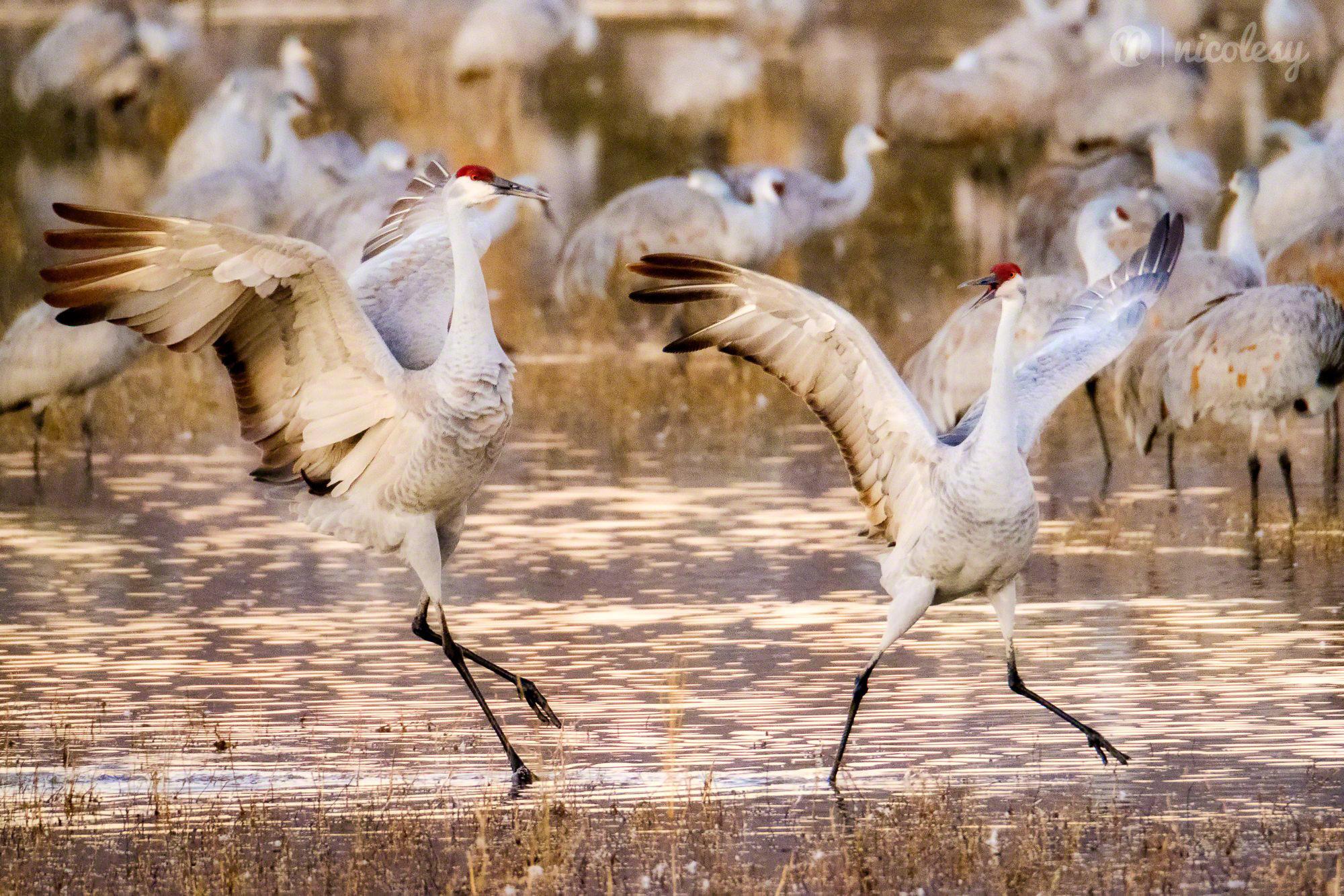 The Dancing Cranes